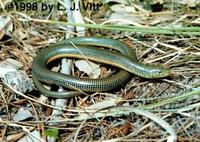 Image of: Ophisaurus ventralis (eastern glass lizard)
