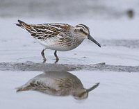 Broad-billed Sandpiper (Limicola falcinellus) photo
