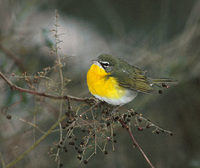 Yellow-breasted Chat (Icteria virens) photo
