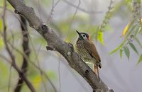 Golden-olive Woodpecker (Piculus rubiginosus) photo