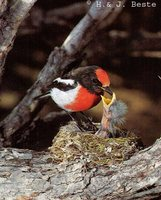 Red-capped Robin - Petroica goodenovii