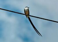 Fork-tailed Flycatcher front