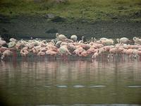 ...Greater Flamingo (Större flamingo) - Phoenicopterus ruber - Lesser Flamingo (Mindre flamingo) -