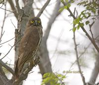Brown hawk owl C20D 03891.jpg