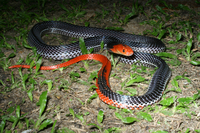 : Bungarus flaviceps; Red-headed Krait