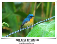 Hill Blue-Flycatcher [Cyornis banyumas]
