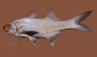 Polydactylus oligodon, Littlescale threadfin: fisheries