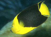 Holacanthus tricolor, Rock beauty: fisheries, aquarium