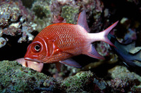 Sargocentron caudimaculatum, Silverspot squirrelfish: fisheries, aquarium