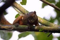 Image of: Callosciurus notatus (plantain squirrel)