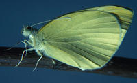 Image of: Pieris rapae (imported cabbageworm)