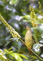 Image of: Arachnothera flavigaster (spectacled spiderhunter)