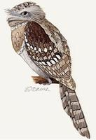Image of: Batrachostomus moniliger (Sri Lanka frogmouth)