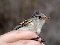 Image of: Camptostoma obsoletum (southern beardless tyrannulet)