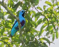 Blue Cotinga (Cotinga nattererii) photo