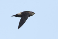 Band-rumped Swift (Chaetura spinicauda) photo