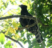 Black Hawk-Eagle - Spizaetus tyrannus