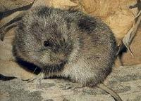 MEADOW VOLES (Microtus pennsylvanicus)