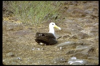 : Phoebastria irrorata; Waved Albatross