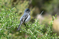 : Polioptila caerulea; Blue-gray Gnatcatcher;
