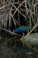 : Porphyrula martinica; Purple Gallinule