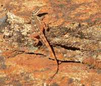 : Ctenophorus ornatus; Ornate Rock Dragon