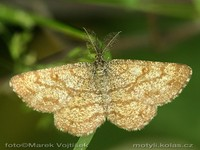 Ematurga atomaria - Common Heath