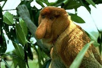 photograph of great-nosed proboscis monkey