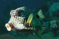 Lactophrys triqueter, Smooth trunkfish: fisheries, aquarium