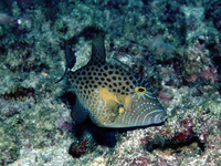 Balistes punctatus, Bluespotted triggerfish: fisheries
