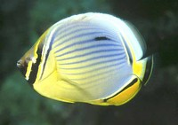 Chaetodon trifasciatus, Melon butterflyfish: fisheries, aquarium