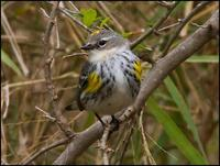 Image of: Dendroica coronata (yellow-rumped warbler)