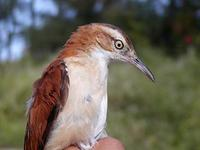 Image of: Furnarius leucopus (pale-legged hornero)