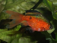 Puntius conchonius - Red Barb
