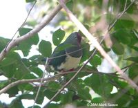 Cream-bellied Fruit Dove - Ptilinopus merrilli