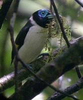 Mindanao Wattled Broadbill - Eurylaimus steerii