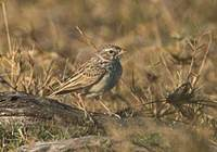 Madagascar Lark (Mirafra hova) photo