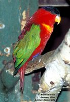 Purple-naped Lory - Lorius domicella