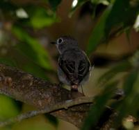 Asian Brown Flycatcher 4