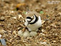 꼬마물떼새(Charadrius dubius) (Little Ringed Plover)