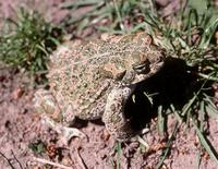 : Bufo viridis; Green Toad (male)