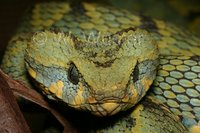 : Atheris rungweensis; Mt. Rungwe Bush Viper