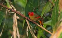 Red-faced Liocichla,  Doi Ang Khang                                     ©James Eaton/Birdtour As...