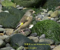 방울새Oriental Greenfinch