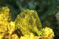 Antennarius multiocellatus, Longlure frogfish: fisheries, aquarium