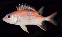 Sargocentron melanospilos, Blackblotch squirrelfish: