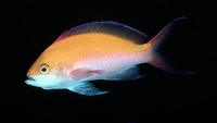 Pseudanthias bicolor, Bicolor anthias: aquarium