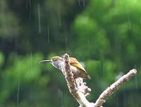 Naked-faced Spiderhunter - Arachnothera clarae