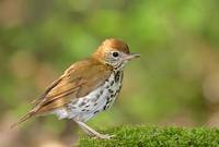 Wood Thrush (Hylocichla mustelina) photo