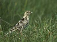 Correndera Pipit (Anthus correndera) photo